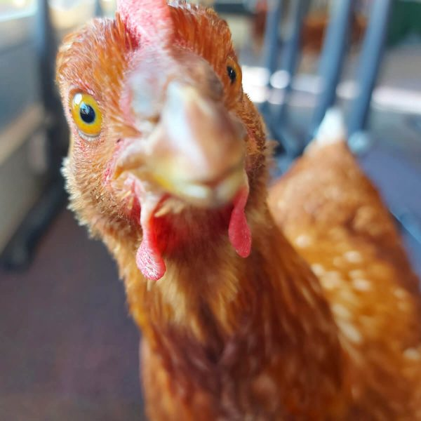 Chickens in Classroom - Curious Hen