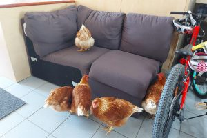 Chickens in Classroom - Couch Meeting