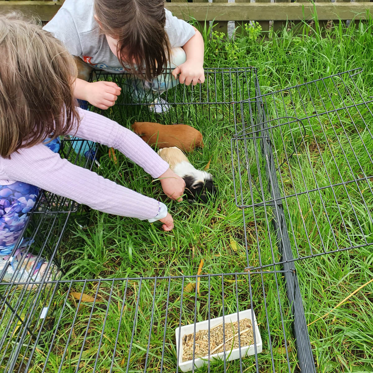 Guinea pigs outside on the grass