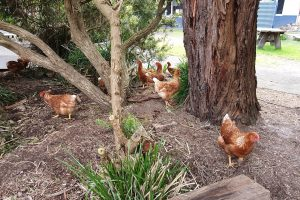 Our new chooks exploring the school