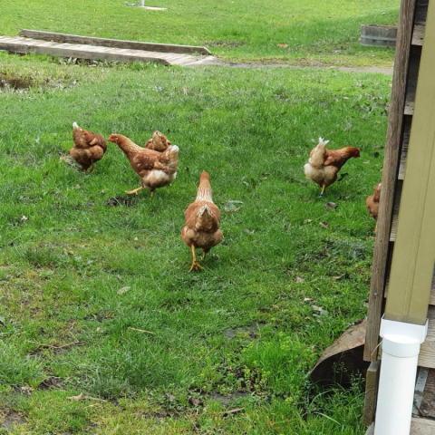 Our new chickens exploring the school grounds